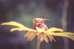 Bee collecting nectar from a flower Royalty Free Stock Image
