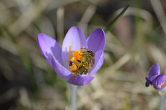 Animal. Bee in Germany starting in a new spring Stock Photography