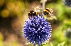 Animal, Bees, Bloom Royalty Free Stock Photo