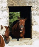 Animal behavior in horses. Animal behavior - a horse framed by the window of an old and abandoned stable bares its teeth at the world portrait format Stock Photography