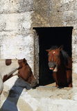 Animal behavior in horses. Animal behavior - a horse framed by the window of an old and abandoned stable bares its teeth at the world portrait format Stock Photo