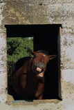 Animal behavior in horses. Animal behavior - a horse framed by the window of an old and abandoned stable bares its teeth at the world portrait format Stock Images