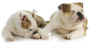 Animal behaviour. Two english bulldogs laying down on white background royalty free stock photography