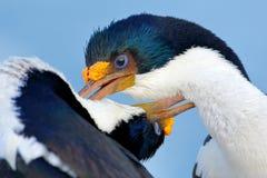 Animal behaviour. Courtship portrait of Imperial Shag, Phalacrocorax atriceps, cormorant from Falkland Islands. Wildlife scene fro Royalty Free Stock Image