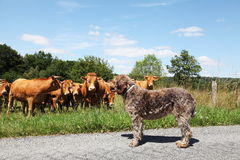Animal Behaviour Curiosity Dog vs Bull. A wirehaired pointing griffon dog stands her ground when coming under scrutiny from a curious Limousin bull and cows Stock Photo