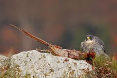 Animal behaviour. Peregrine Falcon, Falco peregrinus, with kill Common Pheasant on stone. Orange autumn forest in the background. Animal behaviour. Peregrine Stock Photo
