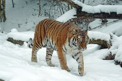 Animal, Big, Cat stock photography