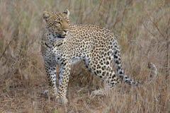 Animal, Big, Cat Stock Image