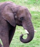 Animal, Big, Ear Royalty Free Stock Image