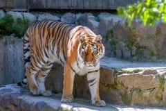 Animal of a big tiger at the zoo Stock Image
