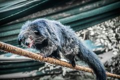 Binturong crawling on the rope