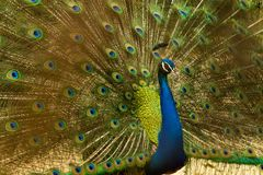 Animal, Bird, Blue stock image