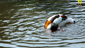 Animal Bird Duck. In lake stock video footage