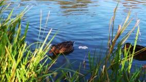Animal Bird Duck stock video footage