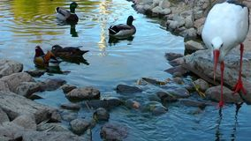 Animal Bird Duck stock video