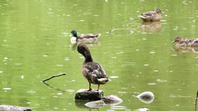Animal bird ducks on green lake in a rainy day. Video stock video footage