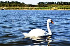Swan floating on the lake royalty free stock photos