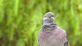 Animal Bird Pigeons Doves in Green Nature. Video stock video footage