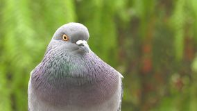 Animal Bird Pigeons Doves in Green Nature. Video stock footage