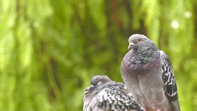 Animal Bird Pigeons Doves in Green Nature. Video stock video