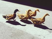 Duck group on a walk. Animal, bird, road and Royalty Free Stock Photography