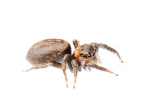Animal black jumping spider Stock Photography