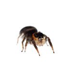 Animal black jumping spider Stock Photo