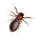 Animal black jumping spider Stock Images