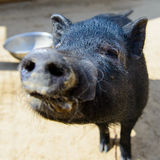Animal black pig Stock Images