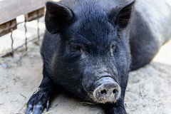 Animal black pig Royalty Free Stock Images
