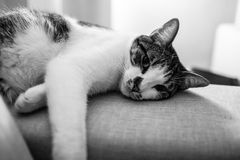 Animal, Black-and-white, Cat Royalty Free Stock Photos
