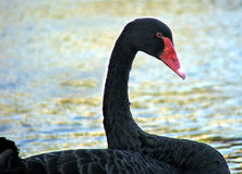 Animal - blackswan. Australian Black Swan royalty free stock images