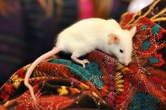 Animal blanc de souris Images stock