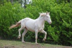 Animal blooded cremello horse playing. Animal warm blooded cremello horse galloping in nature royalty free stock image