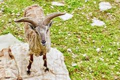 Animal Blue sheep. Stock Photography