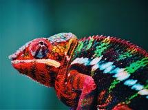 Animal, Blur, Chameleon stock photo