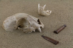Animal bobcat skull bones and bullet casings in desert sand Stock Photography