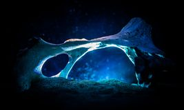 Animal bone in dark Halloween night with fog and light on background / Selective focus and space for text. Abstract horror concept royalty free stock images