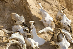 Animal bones. Bones of animals on dry land sand Royalty Free Stock Images