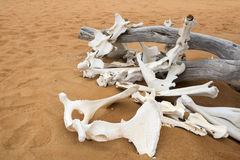 Animal bones in desert Royalty Free Stock Photography