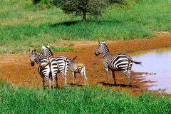 Animal bonito de Kenya - a zebra Imagem de Stock Royalty Free
