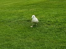Animal bonito dos animais selvagens da natureza do pássaro da gaivota Fotos de Stock Royalty Free