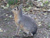Animal bonito em Buenos Aires Fotografia de Stock Royalty Free