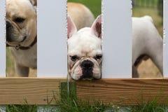 Animal bonito novo do buldogue francês Imagens de Stock Royalty Free
