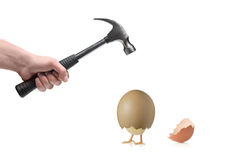 animal break egg hand to 免版税库存照片