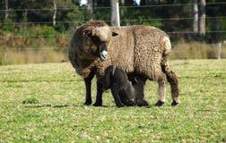 Animal - brebis et agneau Images libres de droits
