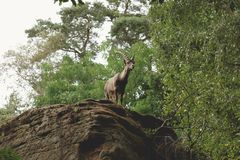 Animal, Buck, Bush royalty free stock photo