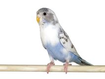 Animal - budgie Royalty Free Stock Photos