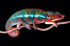 Animal bull chameleon chameleons colorful exotic male panther pet pets reptile reptiles stock photography