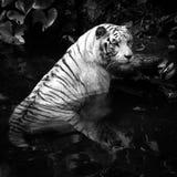 Animal BW Series - Endangered White Tiger taking a dip Royalty Free Stock Image